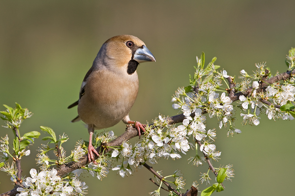 Kernbeißer, Coccothraustes coccothraustes, Hawfinch