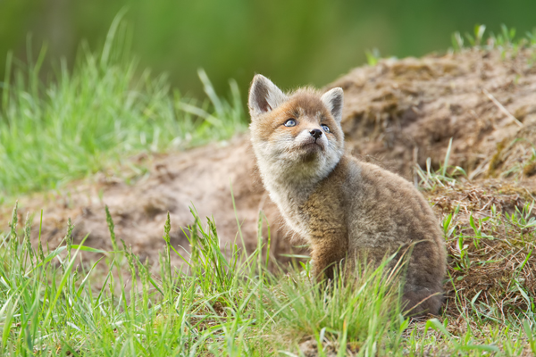 Rotfuchs Vulpes Pictures To Pin On Pinterest